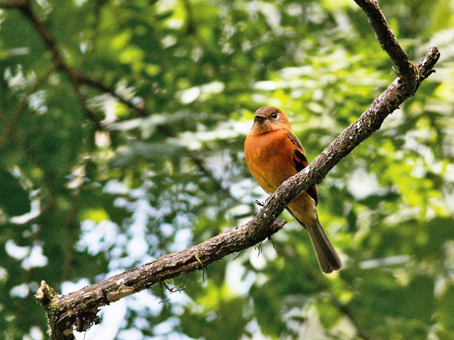 Cinnamon Flycatcher - Diego Oscar / Sandpiper Birding & Tours