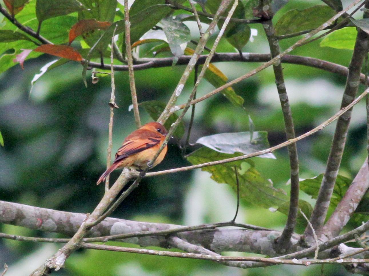Cinnamon Flycatcher - Jay McGowan