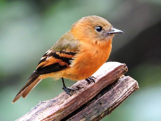 - Cinnamon Flycatcher