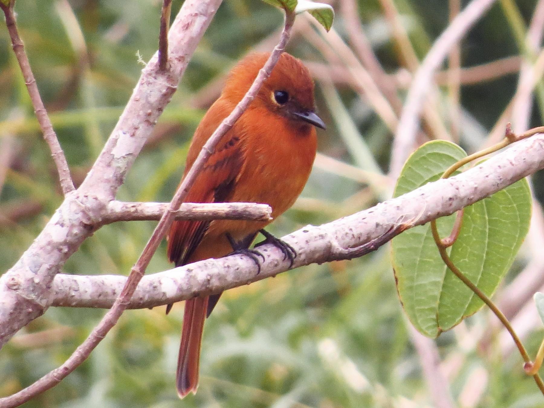 Cinnamon Flycatcher - Bryant Olsen
