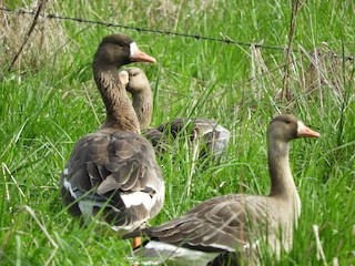 Greater White-fronted Goose, ML55807131