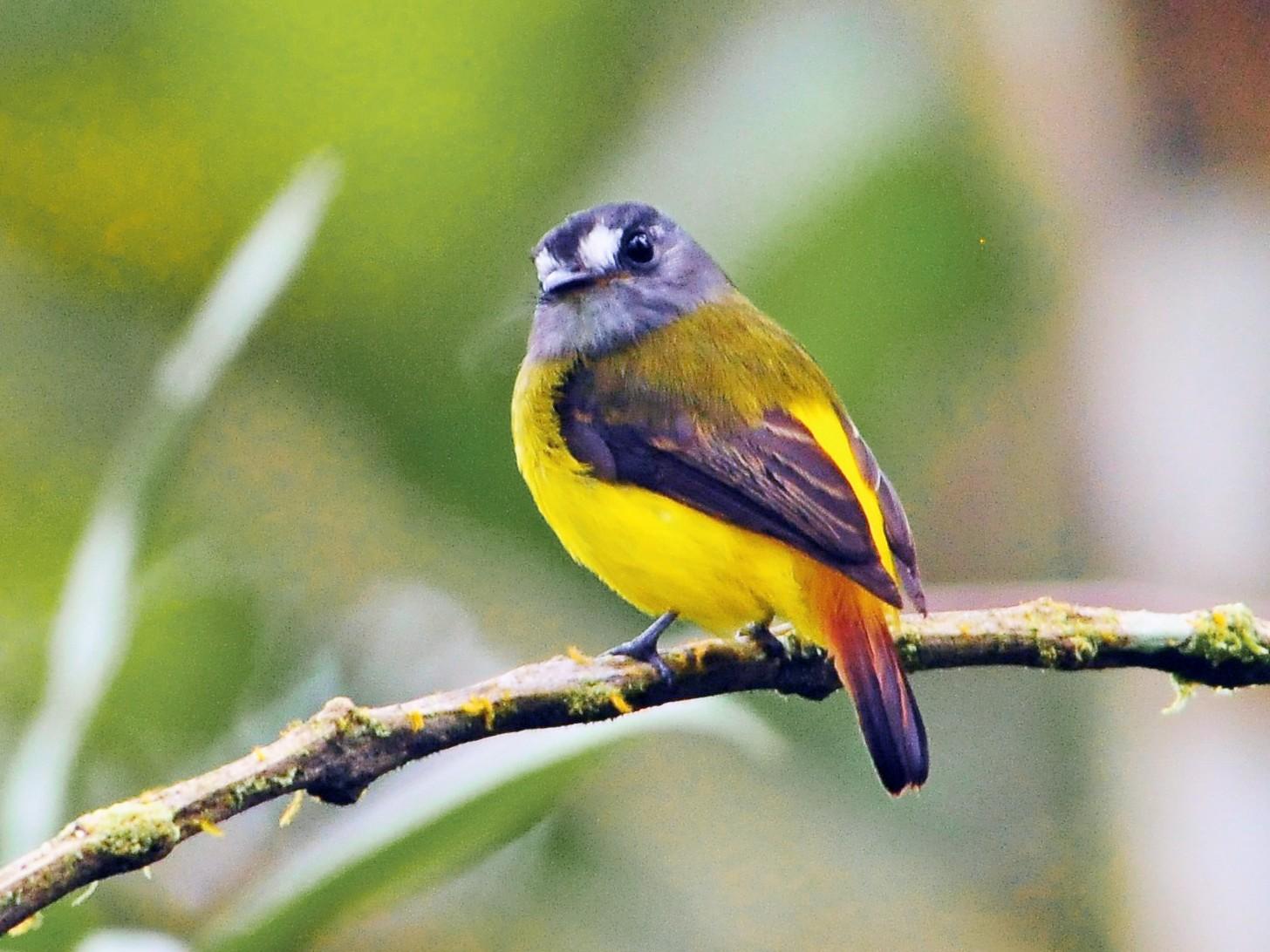 Ornate Flycatcher - Sue Riffe