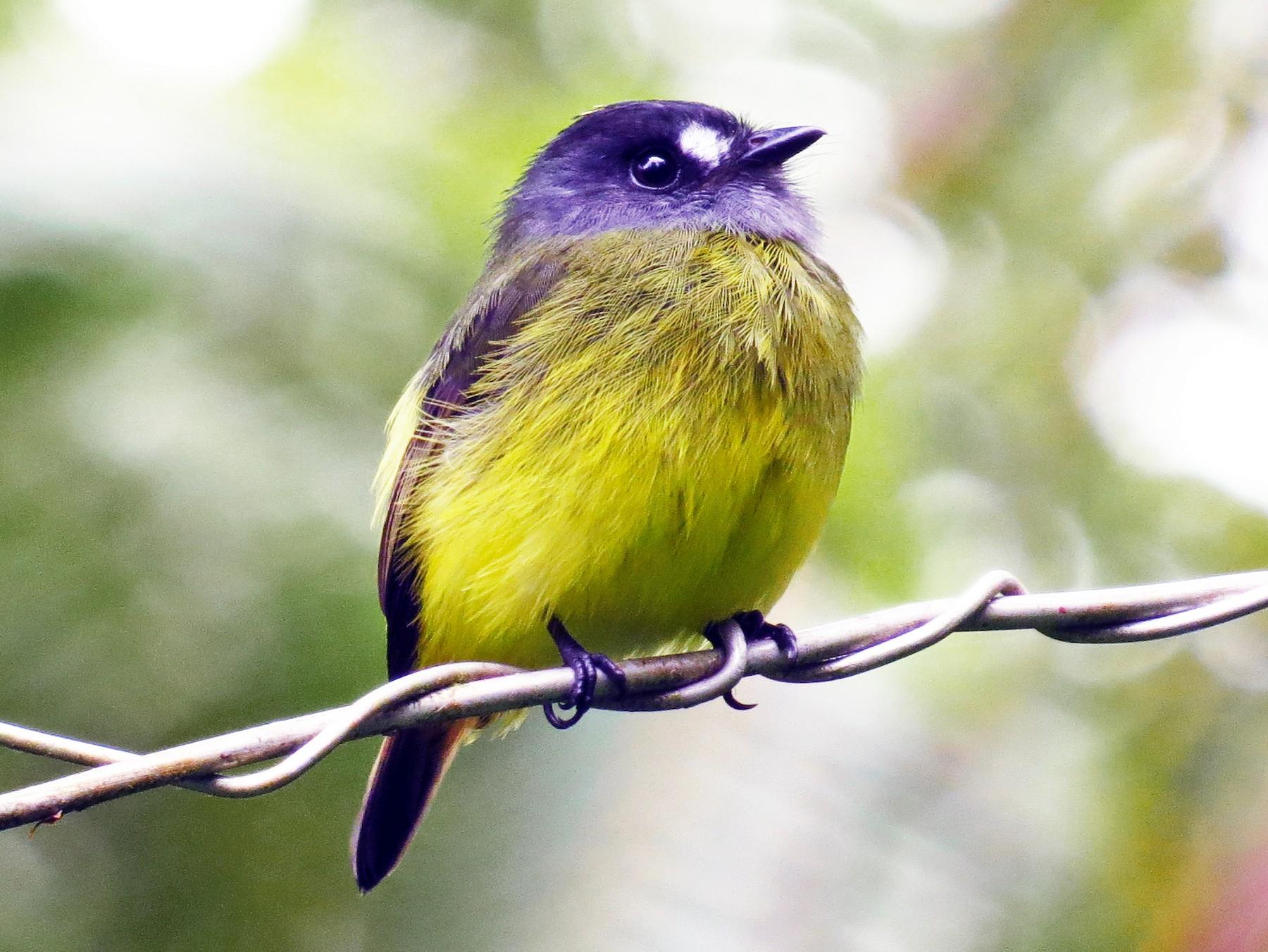 Ornate Flycatcher - Jorge Muñoz García   CAQUETA BIRDING