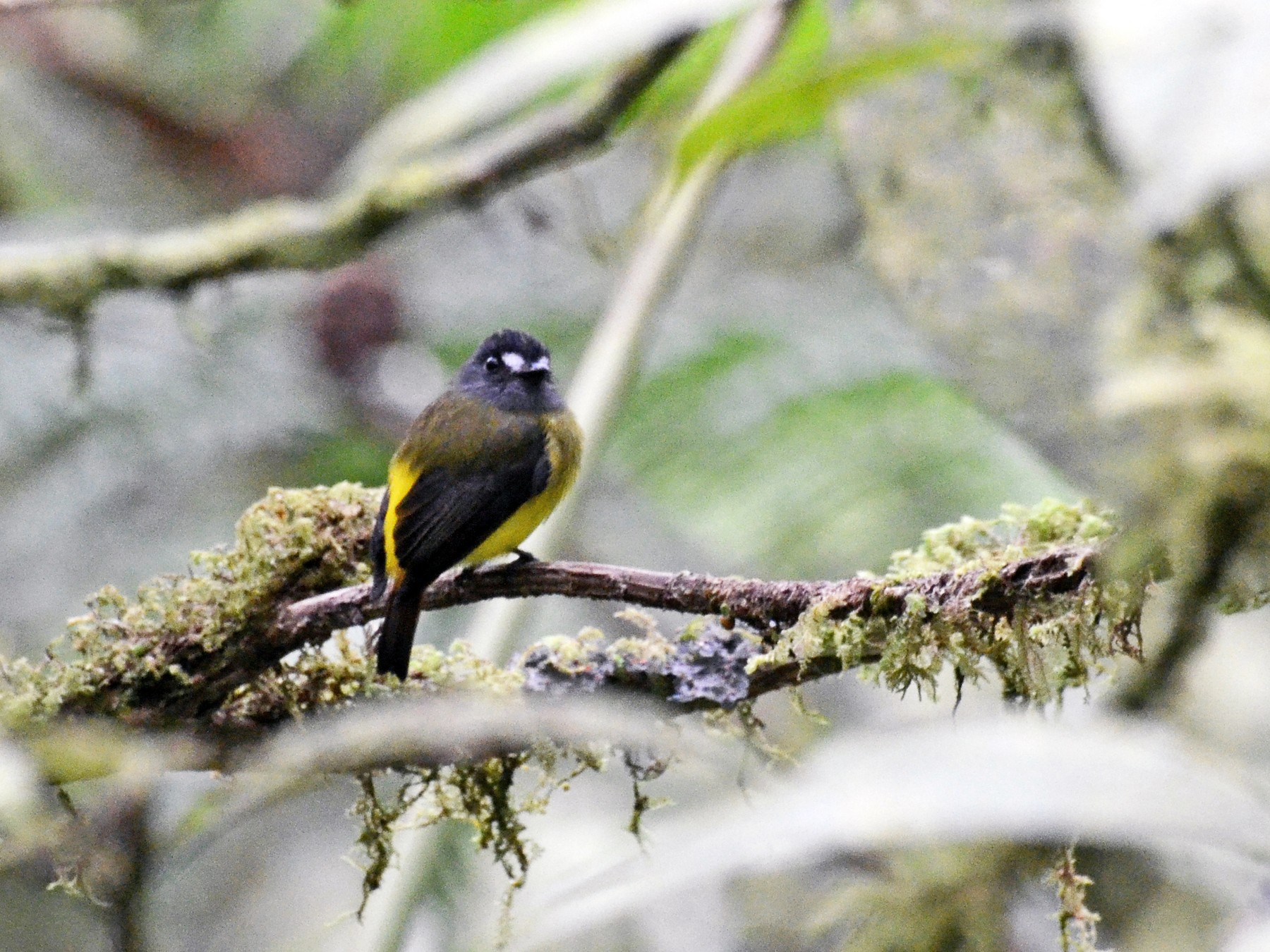 Ornate Flycatcher - David M. Bell
