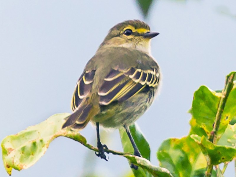 Golden-faced Tyrannulet - Rob Felix