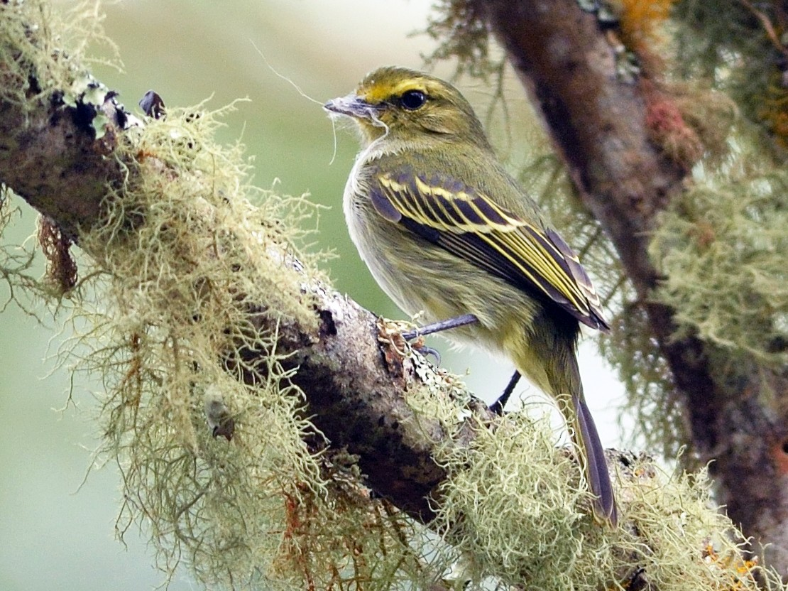 Golden-faced Tyrannulet - Neil Diaz