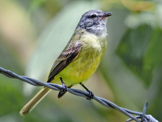 - Sooty-headed Tyrannulet