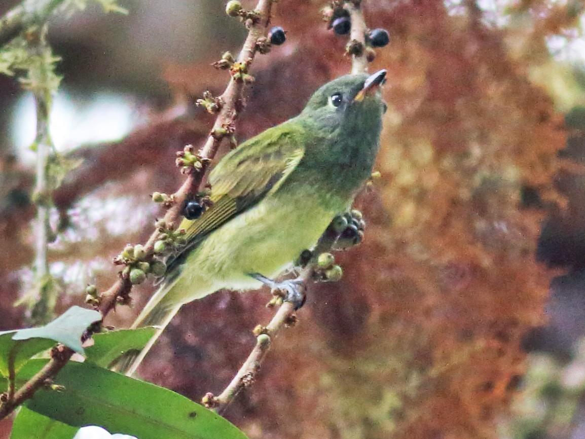 Streak-necked Flycatcher - Rick Folkening