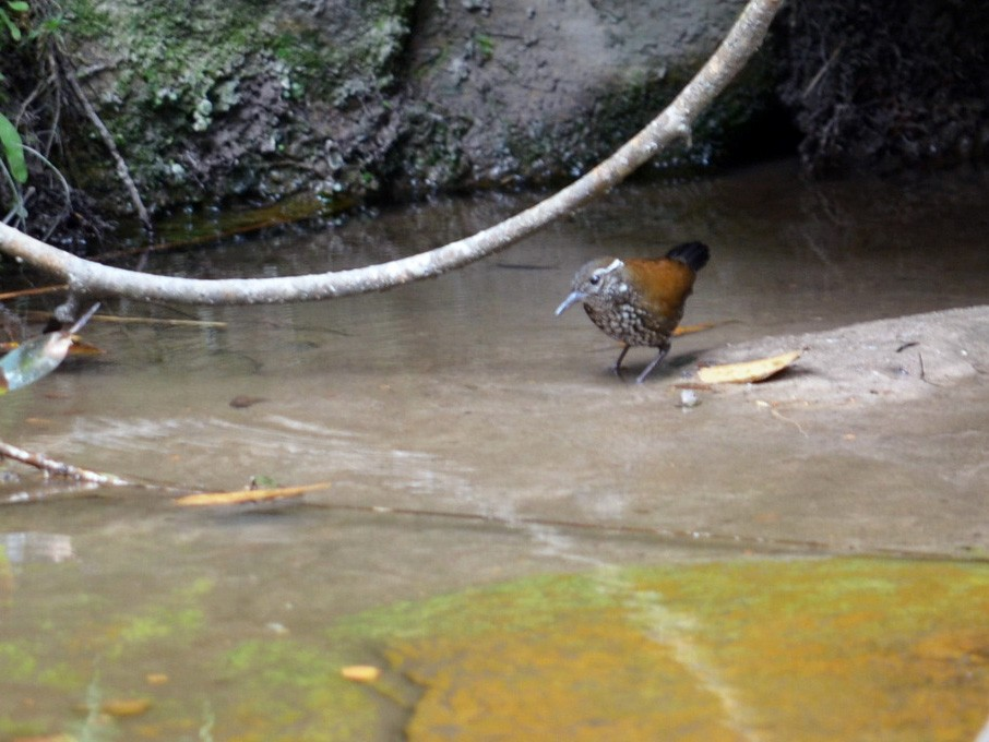 Sharp-tailed Streamcreeper - Ben Phalan