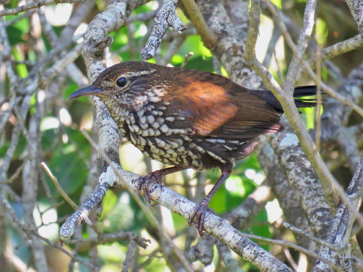 Sharp-tailed Streamcreeper - Adrian Antunez