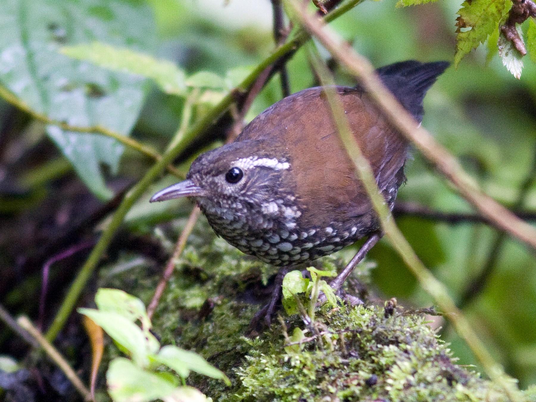 Sharp-tailed Streamcreeper - Marbry Hopkins