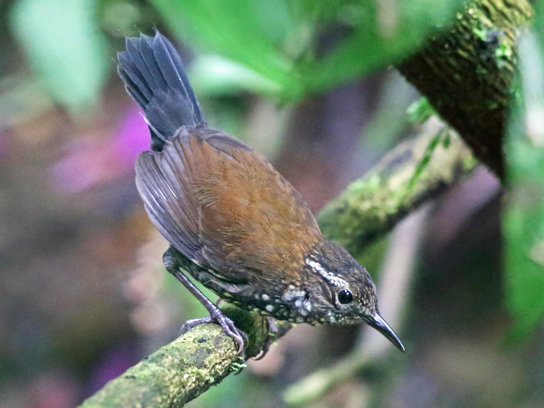 Sharp-tailed Streamcreeper - Nigel Voaden