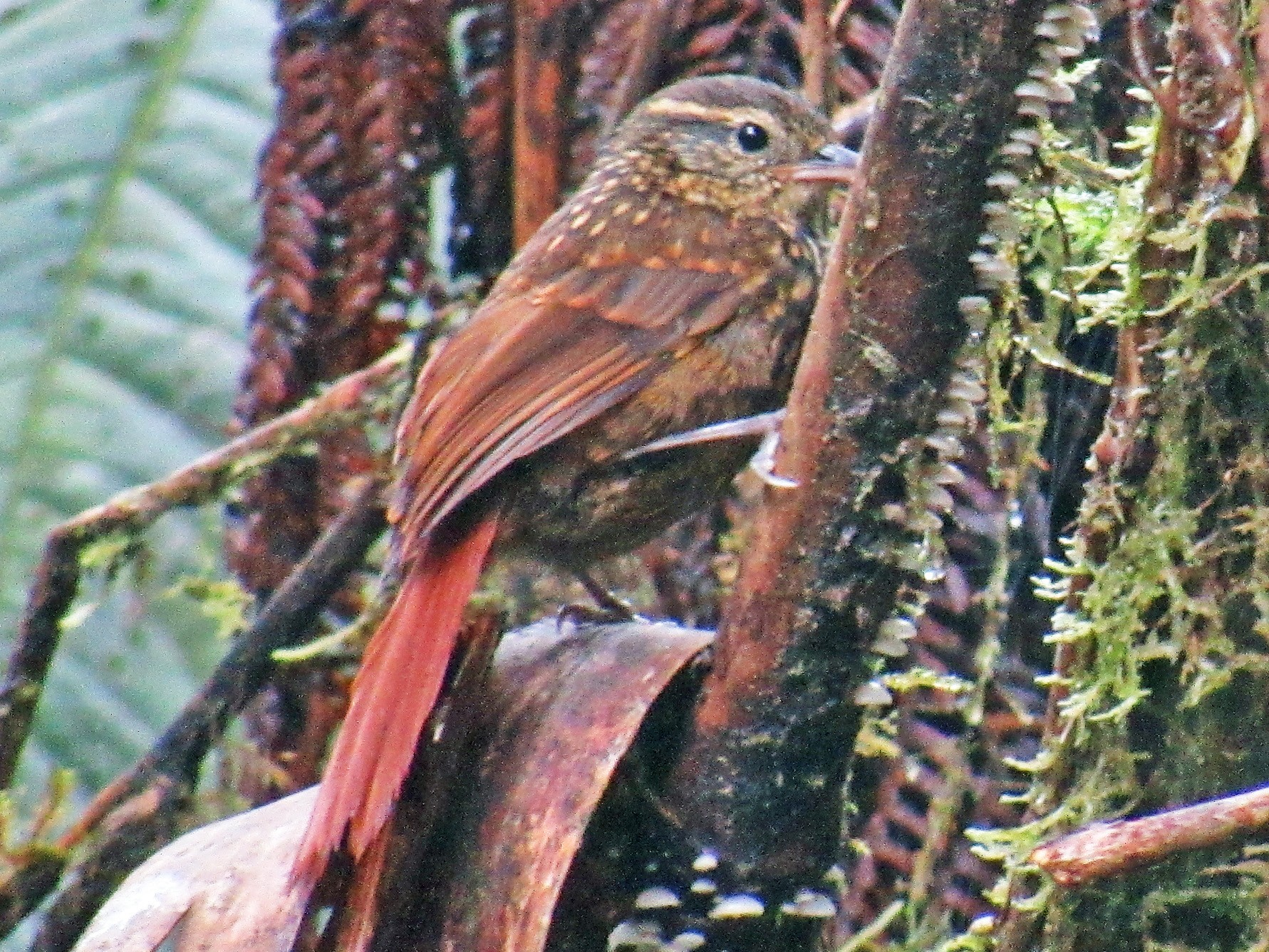 Rusty-winged Barbtail - Nelson Apolo