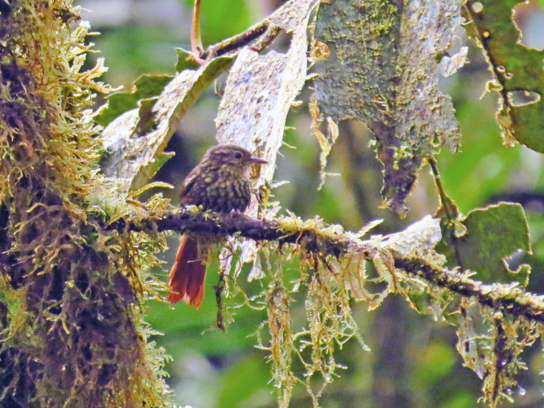 Rusty-winged Barbtail - Jorge Muñoz García   CAQUETA BIRDING