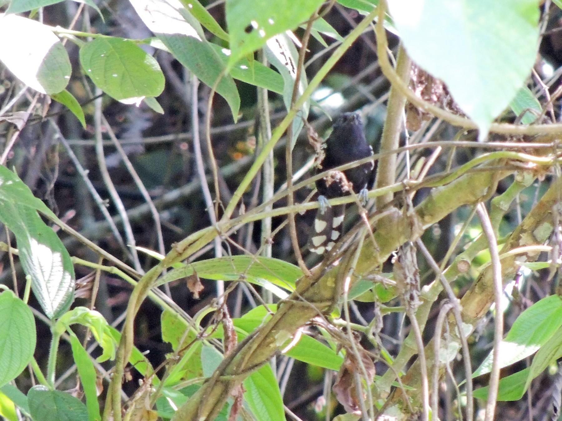 Jet Antbird - Daniel F Castaño PAJAREANDO COLOMBIA Birding Experiences