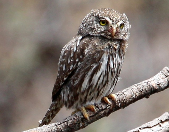 Northern Pygmy-Owl (Rocky Mts.)