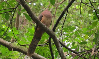 Brown Cuckoo-Dove, ML55922411