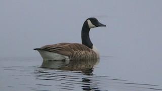 Canada Goose, ML55970481