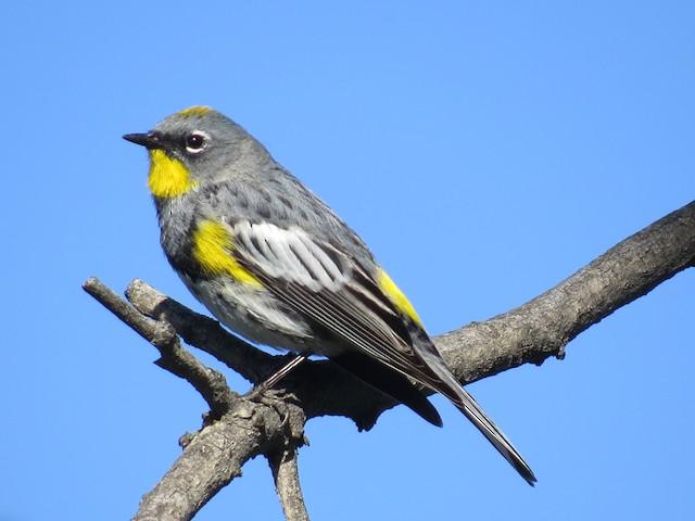 Yellow-rumped Warbler (Audubon's)