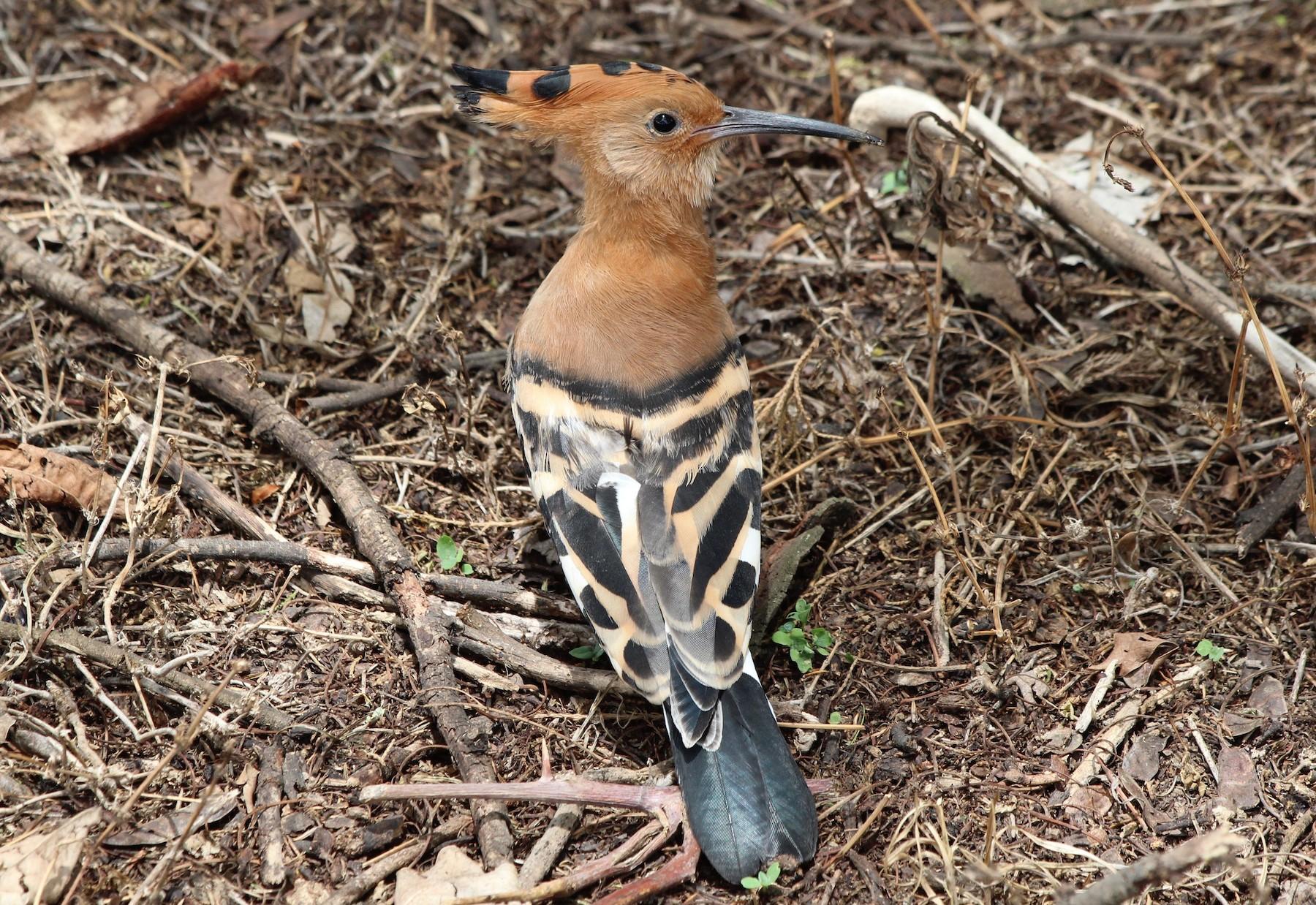 Eurasian Hoopoe (African) - David Guarnieri