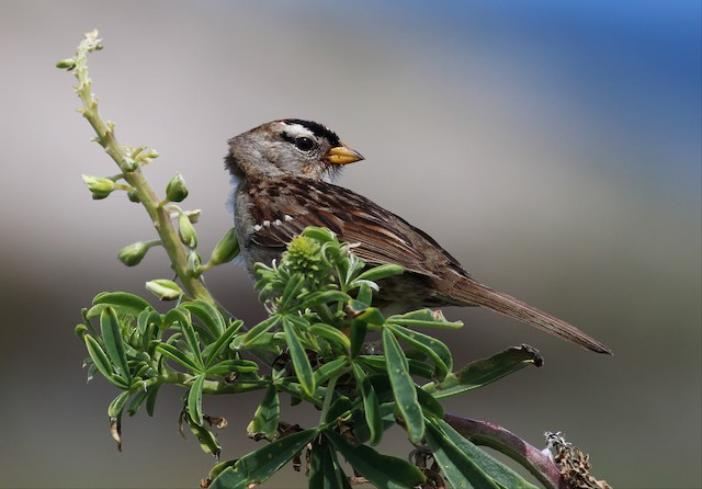 White-crowned Sparrow (nuttalli)