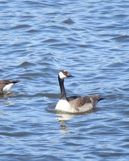 Canada Goose, ML56192201