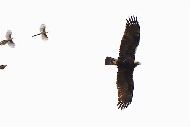 Spanish Eagle