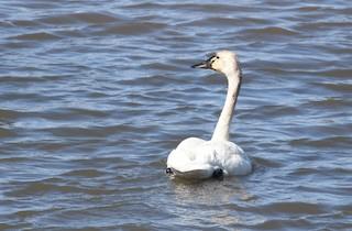Tundra Swan, ML56305601