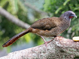 - Colombian Chachalaca