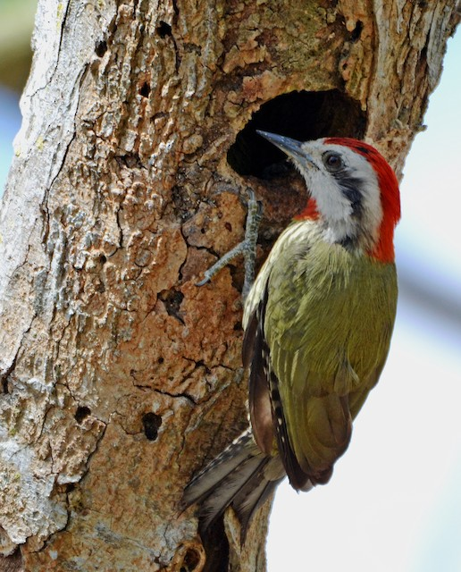 Cuban Green Woodpecker