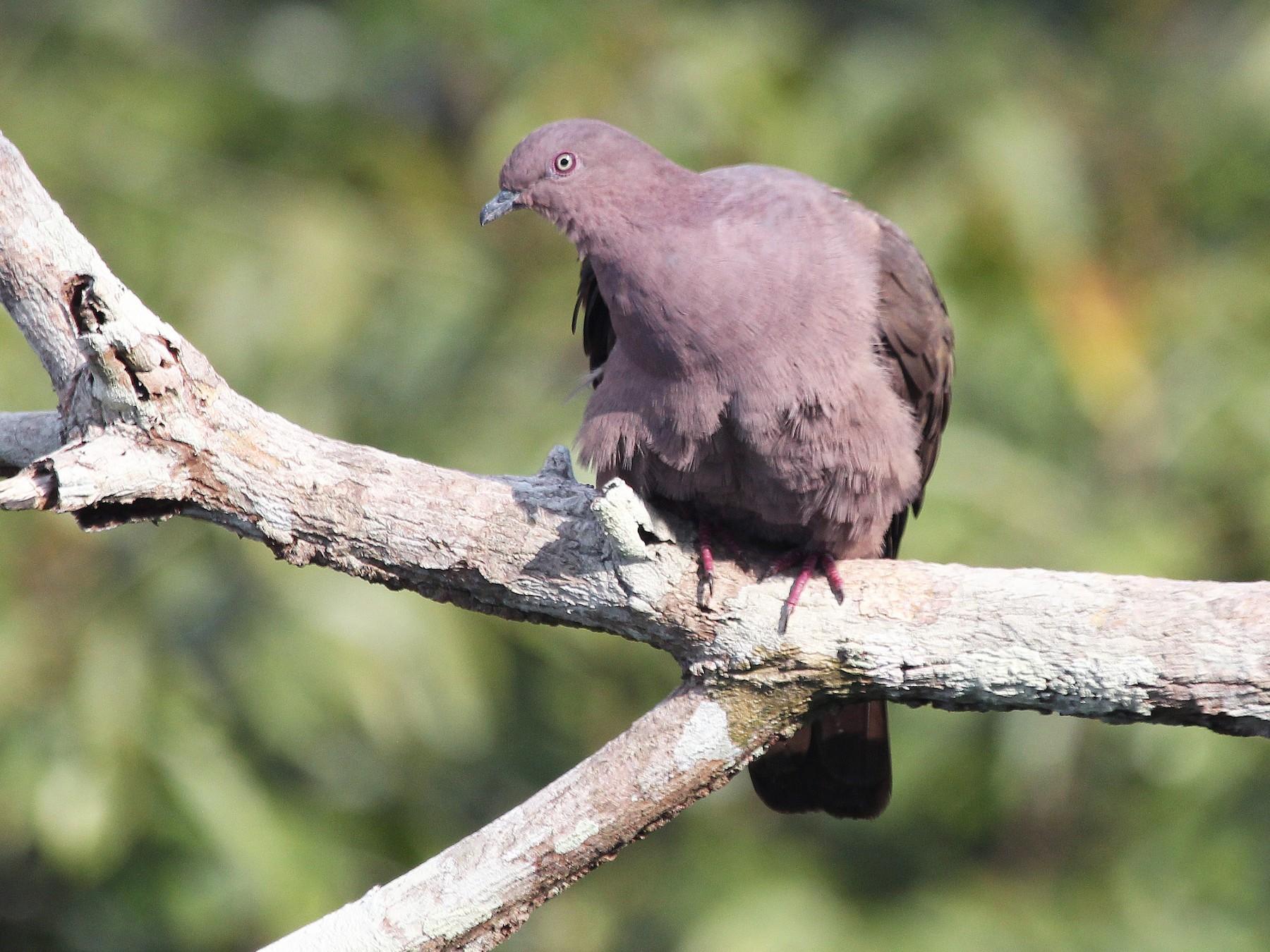 Plumbeous Pigeon - Alexander Lees