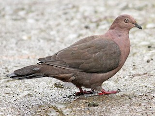 - Plumbeous Pigeon