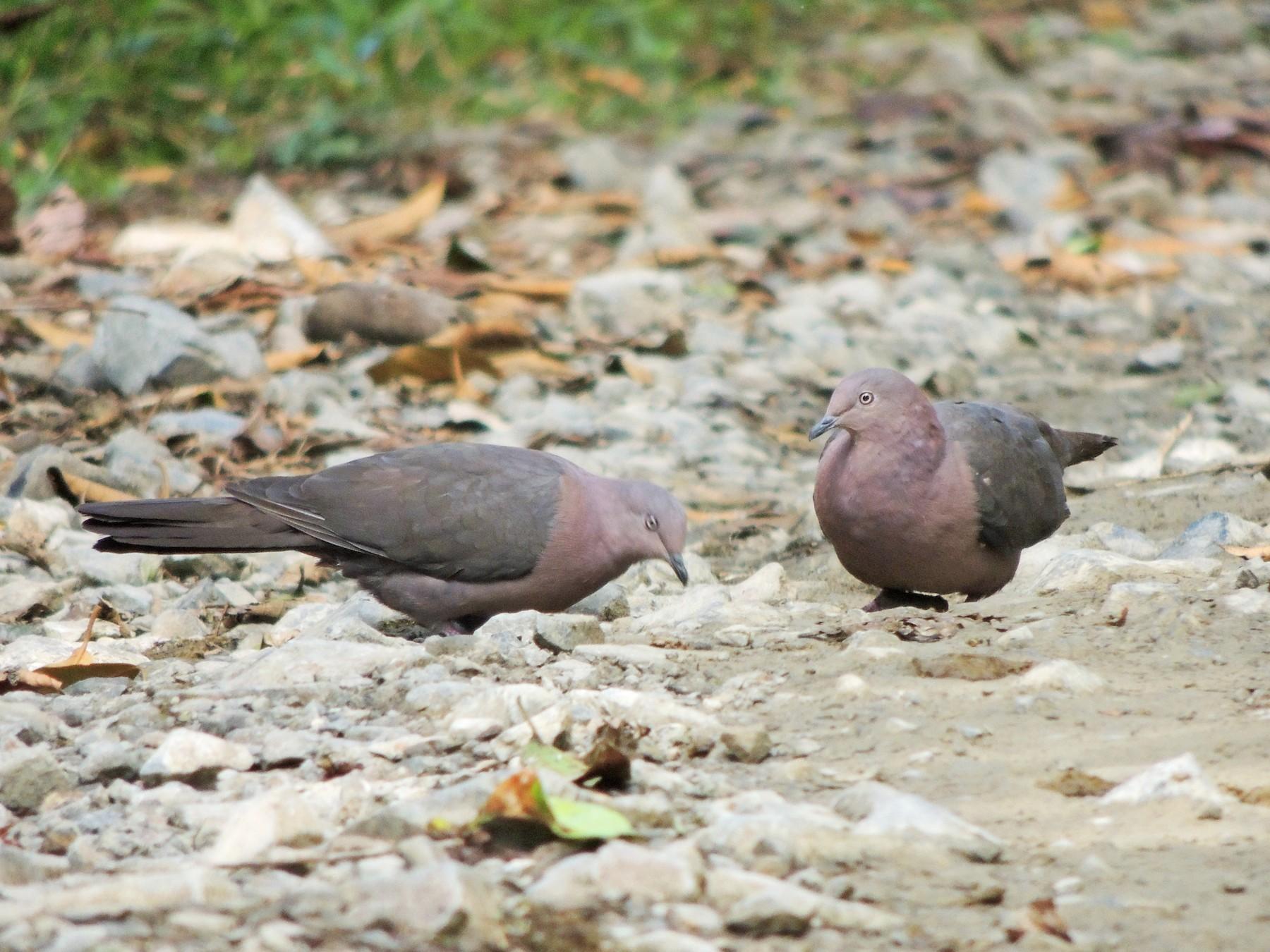 Plumbeous Pigeon - Ottavio Janni
