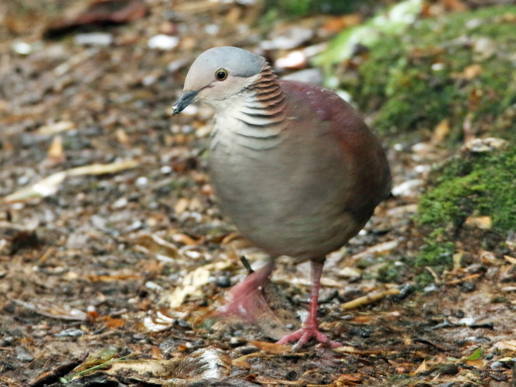 White-throated Quail-Dove - Loch Kilpatrick