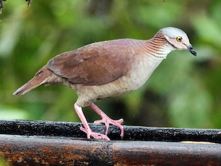 - White-throated Quail-Dove