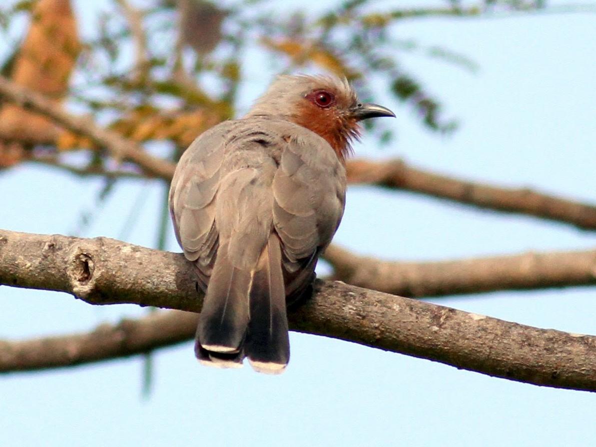 Dwarf Cuckoo - Jay McGowan
