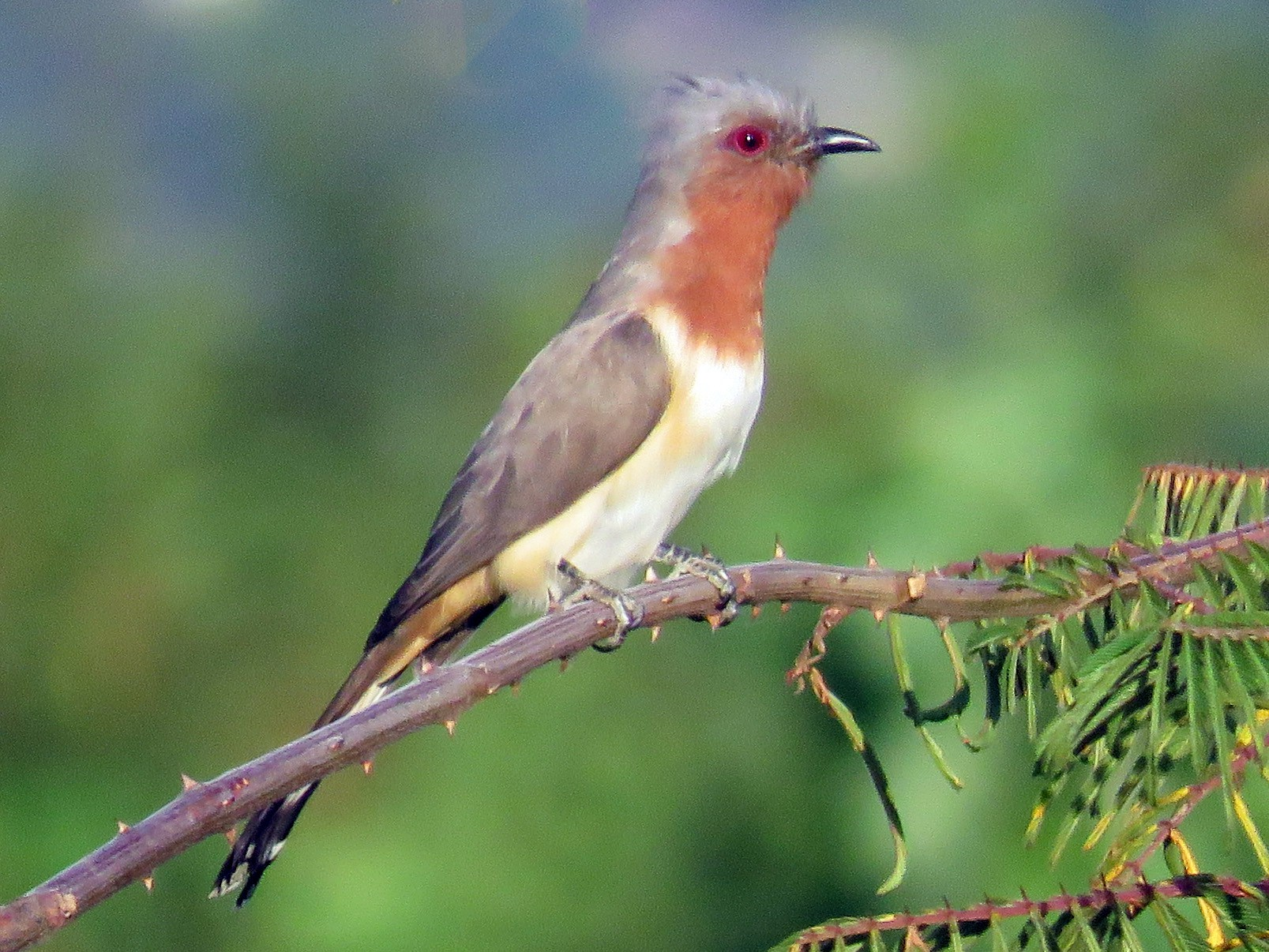 Dwarf Cuckoo - Juan Pablo Arboleda