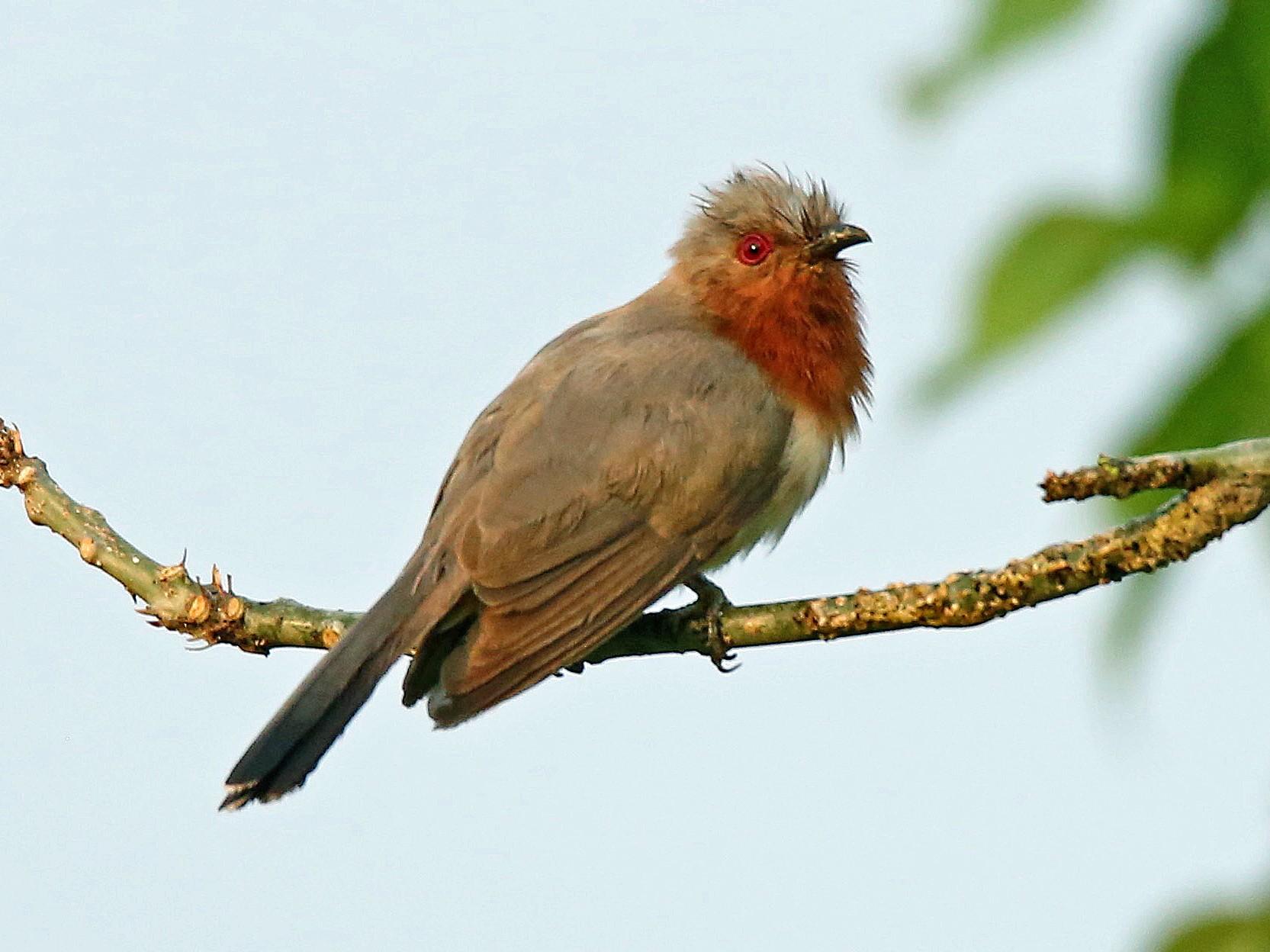 Dwarf Cuckoo - Roger Ahlman