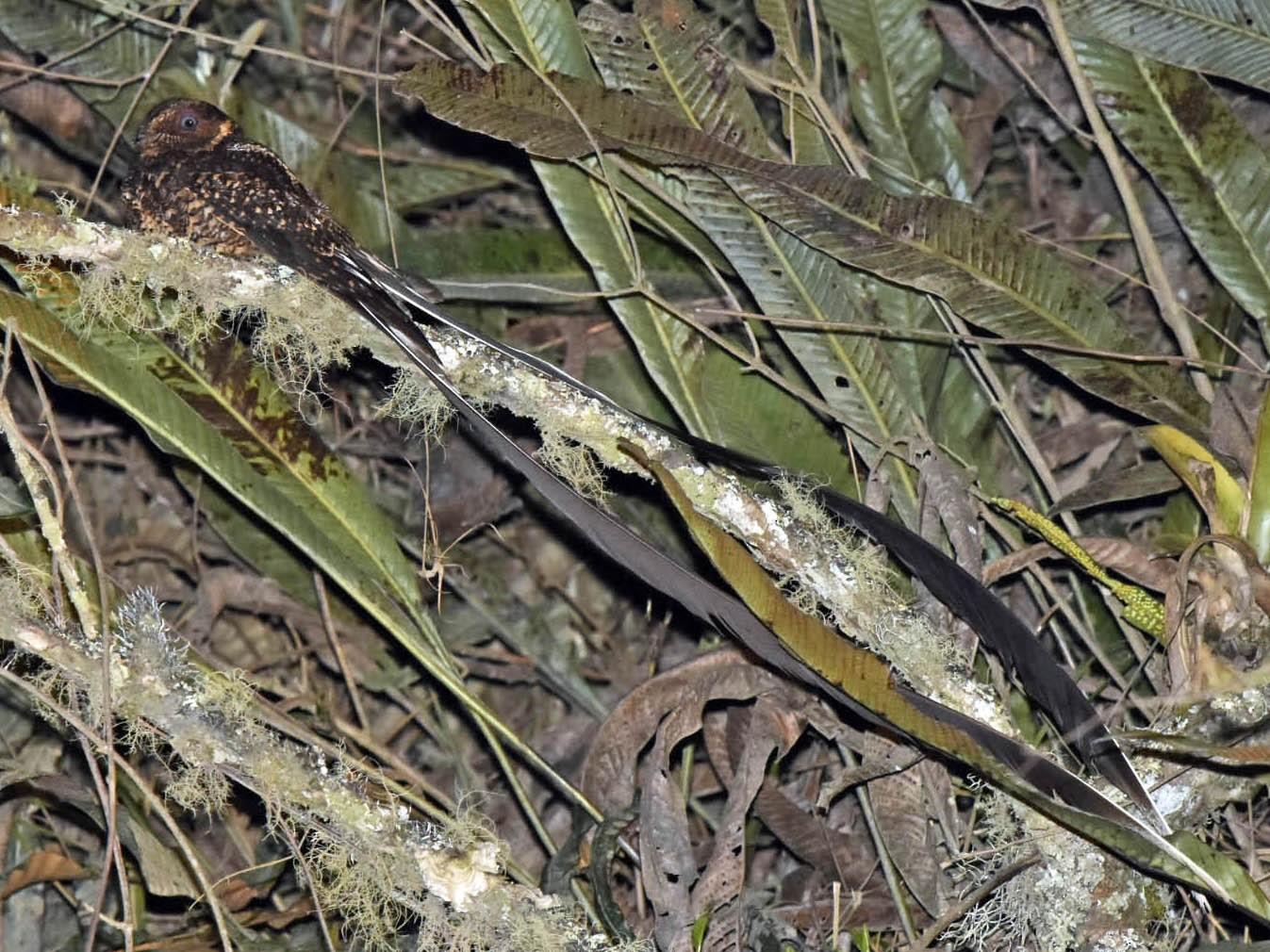 Lyre-tailed Nightjar - Tini & Jacob Wijpkema