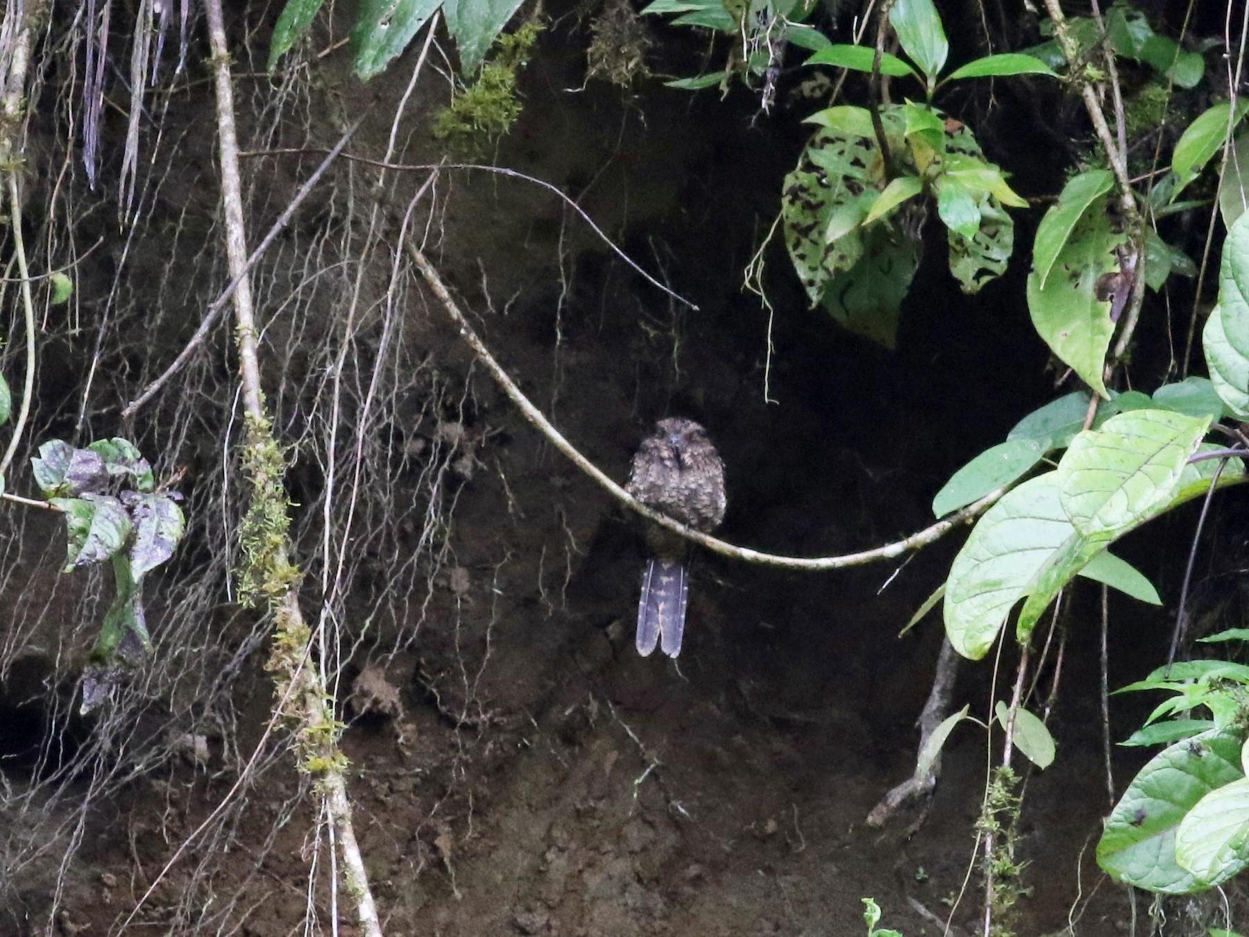 Lyre-tailed Nightjar - Jay McGowan