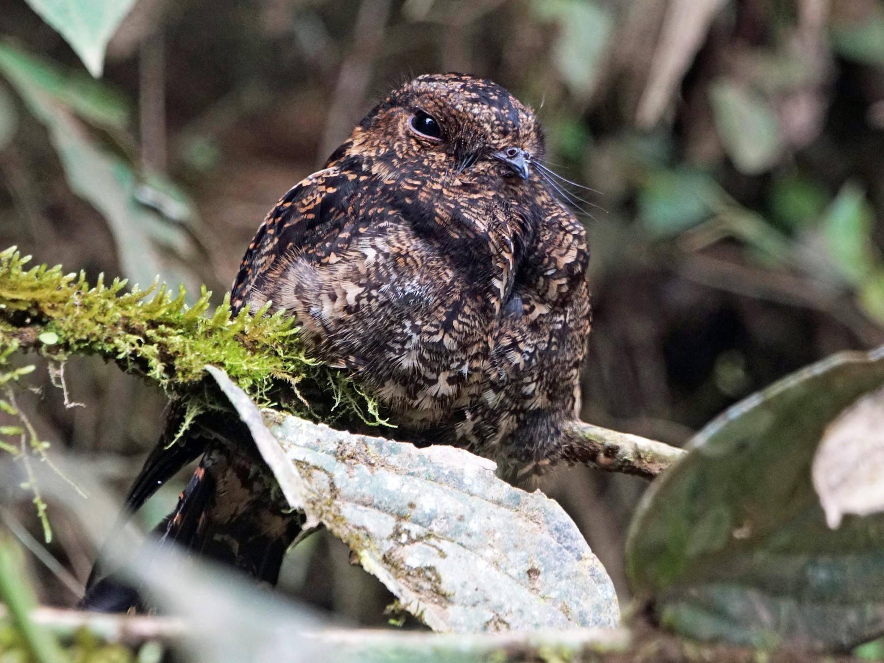 Lyre-tailed Nightjar - Michael Smith