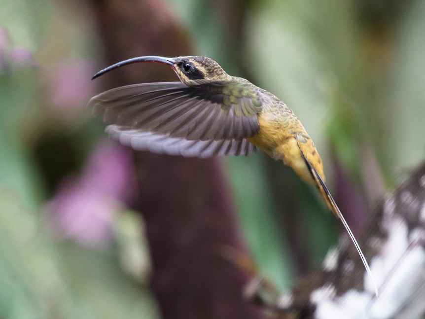 Tawny-bellied Hermit - Silvia Faustino Linhares