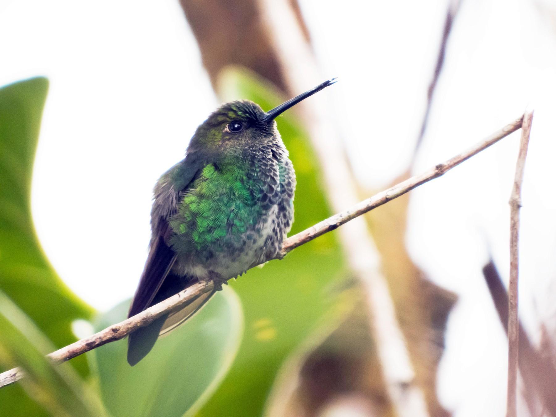 Greenish Puffleg - Juan Sebastian Moreno