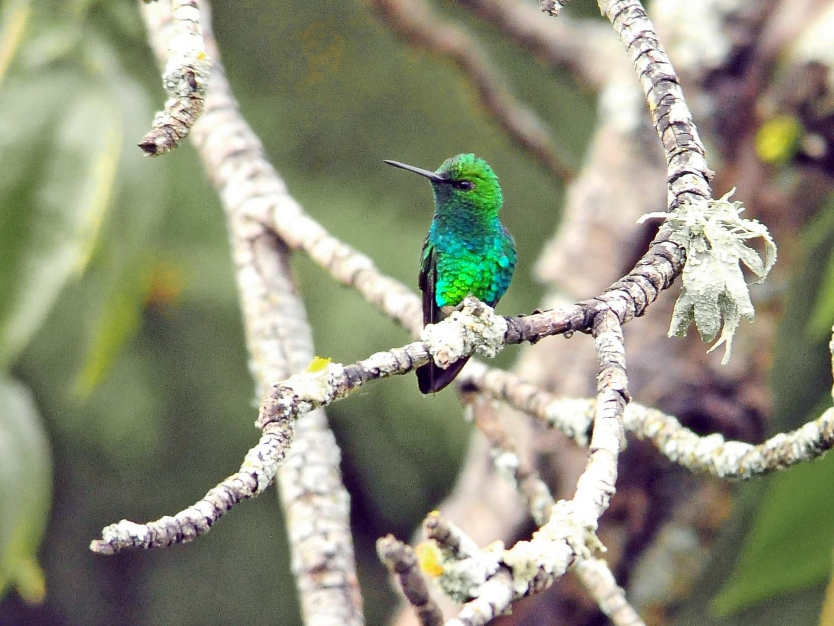 Western Emerald - Sue Riffe