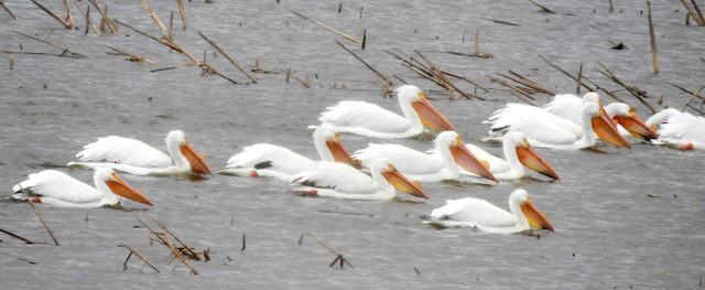 ©Bonnie Heinecke - American White Pelican