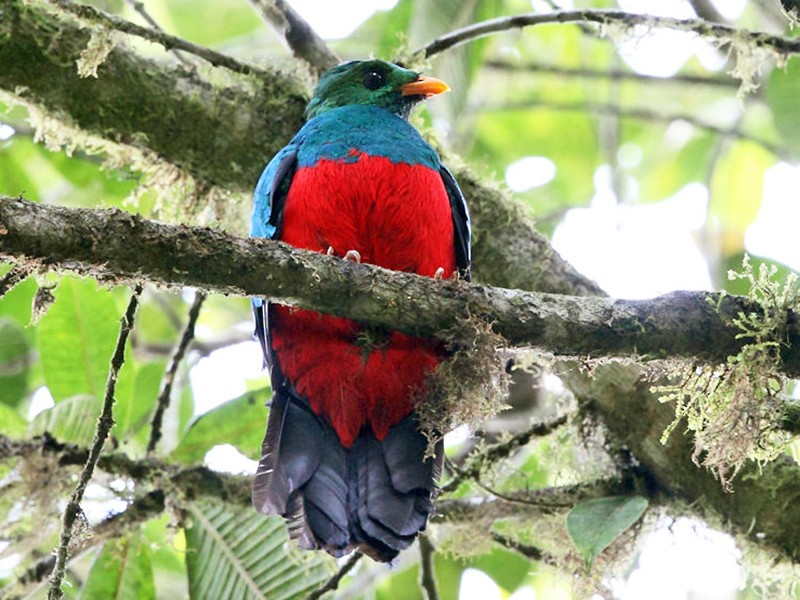Golden-headed Quetzal - Tom Murray