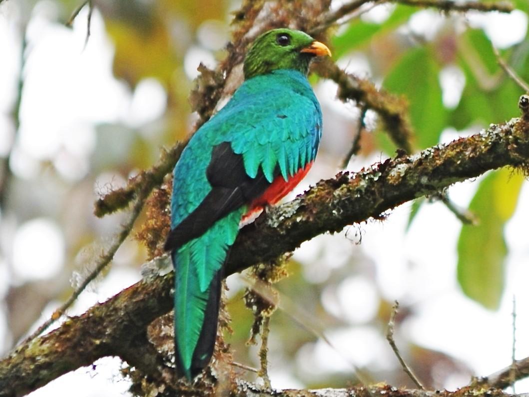 Golden-headed Quetzal - Alan Van Norman