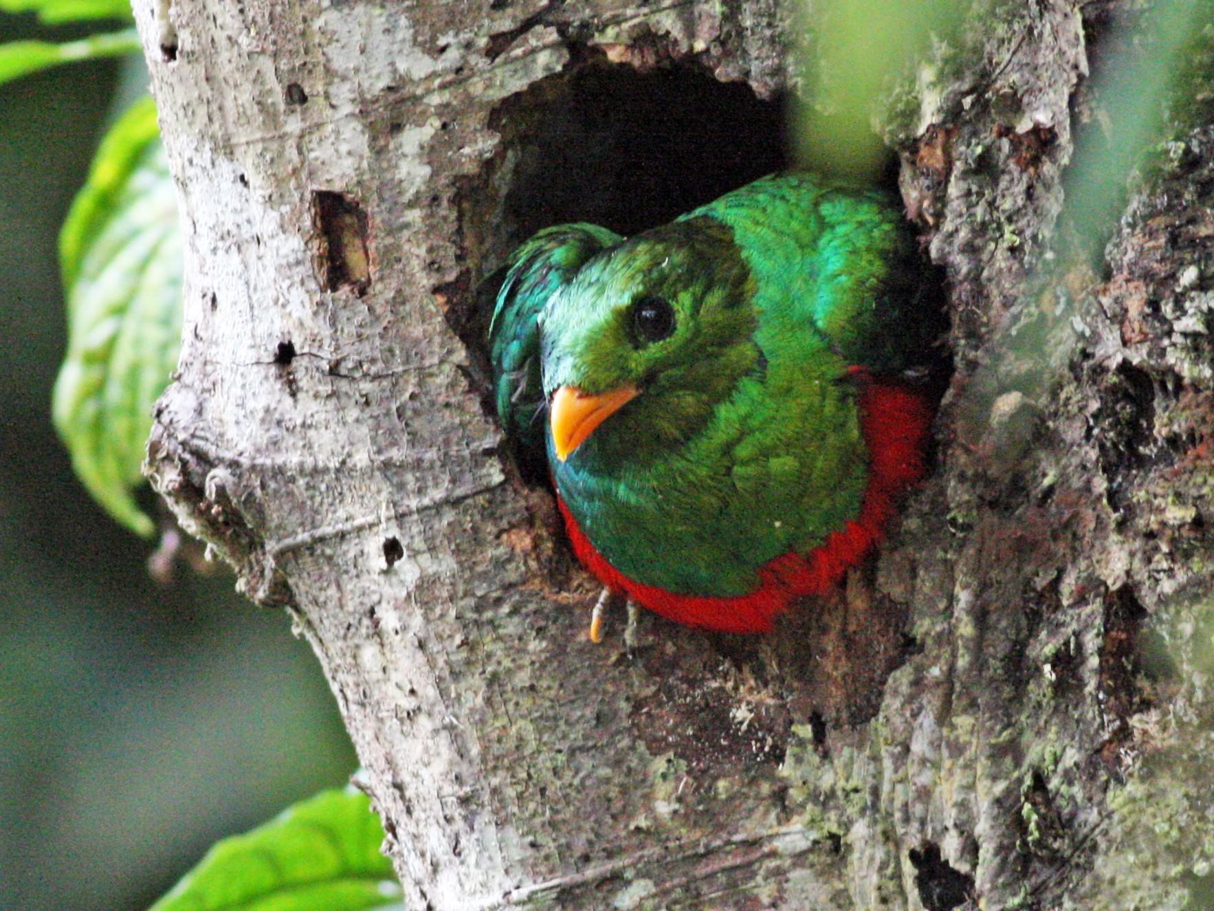 Golden-headed Quetzal - Nate Swick