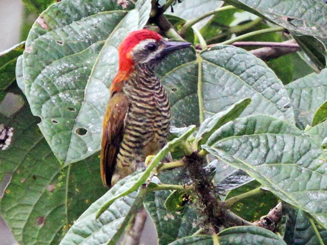 Yellow-vented Woodpecker - James (Jim) Holmes