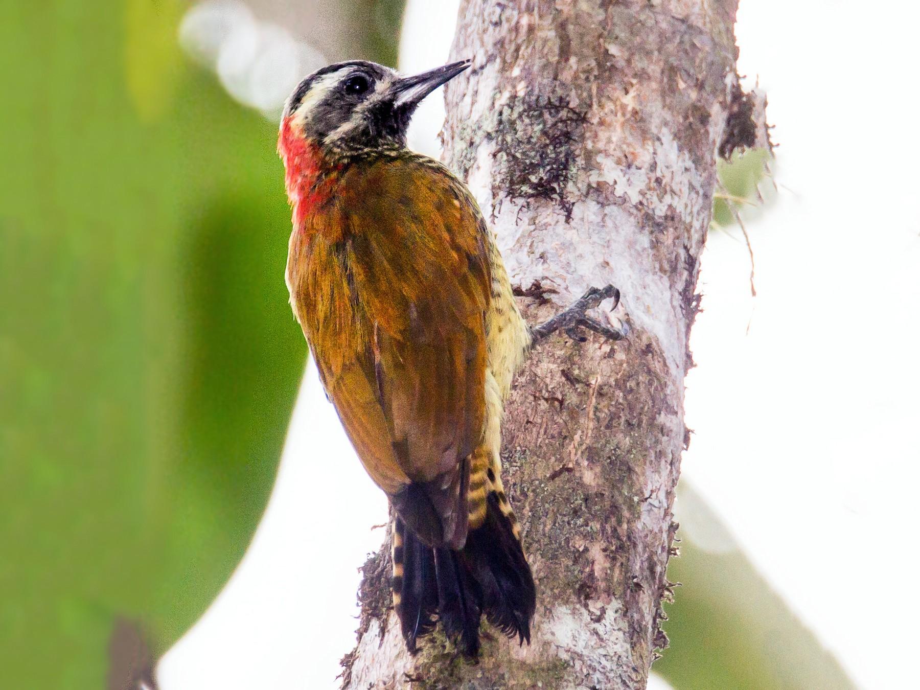 Yellow-vented Woodpecker - Robert Lewis